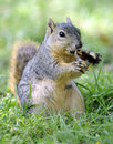 Curious squirrel standing on hind legs eating Stock Images