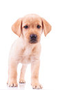 Curious standing labrador retriever puppy dog Royalty Free Stock Photo