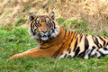 Curious Sumatran Tiger Lying in the Grass Royalty Free Stock Images