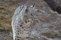 Curious Wandering Bobcat Royalty Free Stock Photo