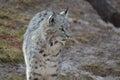 Curious Wandering Bobcat Royalty Free Stock Photo