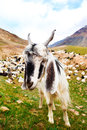 Curious white goat Royalty Free Stock Photography