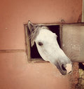 Curious white horse looking out stable window Royalty Free Stock Photo