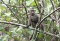 Curious young baboon a in a tree in central uganda Stock Images