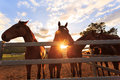 Curious young horses at sunset photo taken from low angle Royalty Free Stock Photos