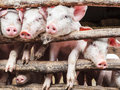 Curious young pigs in a stable row of wooden Stock Images