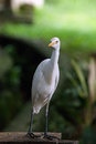 Curioused crane bird a looking curiously at visitors in kuala lumpur s birds park malaysia Stock Images