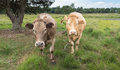 Curiously looking brown cows portrait of two in a nature area Royalty Free Stock Photos