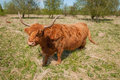 Curiously looking Highland cow Royalty Free Stock Photography