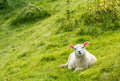 Curiously looking lamb a young with translucent ears because of the backlight is lying in the meadow and with big eyes at the Royalty Free Stock Photos