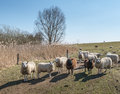 Curiously looking sheep in a backlighting image Stock Images