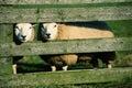 Curiuous white sheeps Stock Photo
