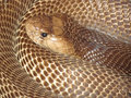 Curled cobra snake closeup Stock Photo