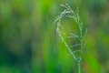 Curled up before a defocused green grass field is a stalk of grass grain by spider with threads details of the grain Royalty Free Stock Images