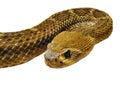 Curled viper