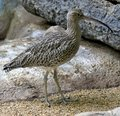 Curlew migrant bird snipe clutch beak bog Stock Photography