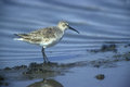 Curlew sandpiper calidris ferruginea single bird by water Stock Photography