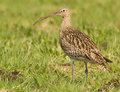 Curlew sitting in the field Stock Image