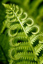 Curly fern Royalty Free Stock Photo