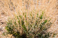 Curly grasses survive the drought in nevada desert Stock Image