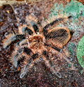 Curly hair tarantula spider with drops of water native to tropical rain forests like taking a shower Stock Photography