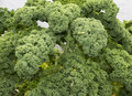 Curly kale or borecole vegetable growing in a garden Royalty Free Stock Photography
