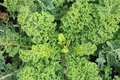 Curly kale on the patch in the vegetable garden near cabbage caterpillars of pieris brassicae butterfly organic Royalty Free Stock Photography