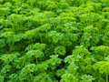 Curly leaf parsley Royalty Free Stock Photo