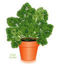 Curly Parsley Herb in clay flower pot Royalty Free Stock Photo