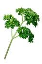 Curly parsley Petroselinum crispum, paths Royalty Free Stock Photo
