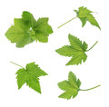 Currant leaf isolated Royalty Free Stock Photo