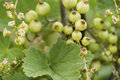 Currant Plant unripe raw red white currants fruit bio organic backyard healthy outdoor produce germany macro close up Royalty Free Stock Photo
