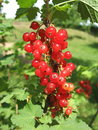 CURRANT Royalty Free Stock Photo