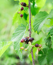 Currant ripe red berries in the green Stock Images