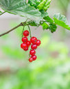 Currant ripe red berries in the green Royalty Free Stock Image