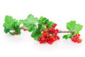 Currant on white background Royalty Free Stock Images