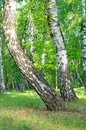 Curved birch trees, trunks, close-up, summer Royalty Free Stock Photo