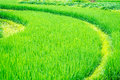 Curved grown rice