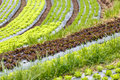 Curved organic vegetable field chiang mai thailand Royalty Free Stock Photography