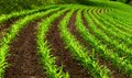 Curved rows of young corn plants Royalty Free Stock Photo