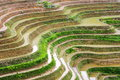 Curves of terraced rice field in Longji, China Royalty Free Stock Photo