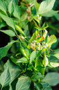 Cuscuta dodder plant parasitic on a hot pepper Stock Photos