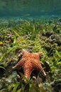 Cushion sea star oreaster reticulatus underwater in a shallow coral reef caribbean Stock Image