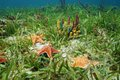 Cushion sea star undersea with colorful sponges on grassy seabed in the caribbean Stock Photo
