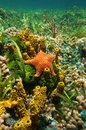 Cushion sea star underwater with sponges on the seabed algae and corals caribbean Royalty Free Stock Photos