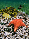Cushion starfish over coral Royalty Free Stock Photo