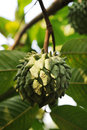 Custard apple Stock Image