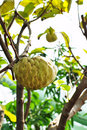Custard apple fruit tree in the garden Royalty Free Stock Images