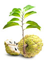 Custard apple isolate white background ripe in Stock Image