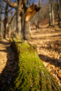 Cut down oak tree Royalty Free Stock Photo